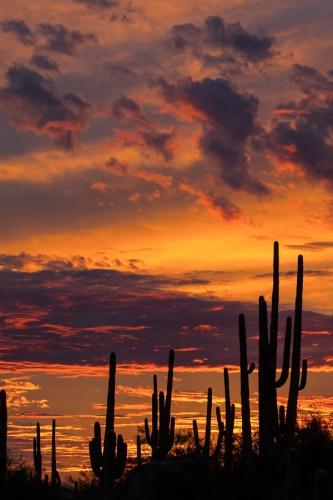 Sagauro cactus silhouetted against sunset sky.  Arizona.